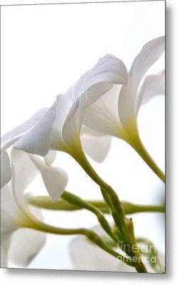 Metal Print featuring the photograph Luminous Plumeria - White by Darla Wood