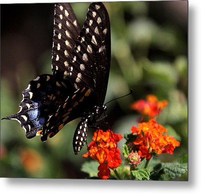 Lunch On The Fly Metal Print by Joe Kozlowski