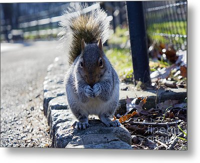 Lunchtime For Central Park Squirrel Metal Print