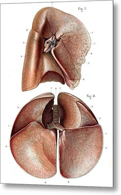 Lung Anatomy Metal Print by Collection Abecasis