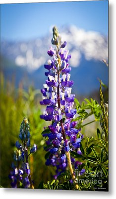 Lupin Metal Print by Chris Heitstuman