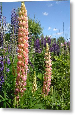 Metal Print featuring the photograph Lupin Summer by Martin Howard