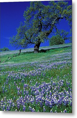 Lupine And The Leaning Tree Metal Print by Kathy Yates