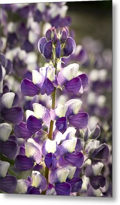 Metal Print featuring the photograph Lupine Wildflowers by Sonya Lang