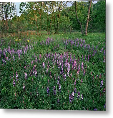 Lupines At West Beach, Indiana Dunes Metal Print
