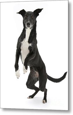 Lurcher Standing On Hind Legs Metal Print