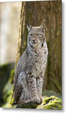 Lynx Metal Print by Andy-Kim Moeller