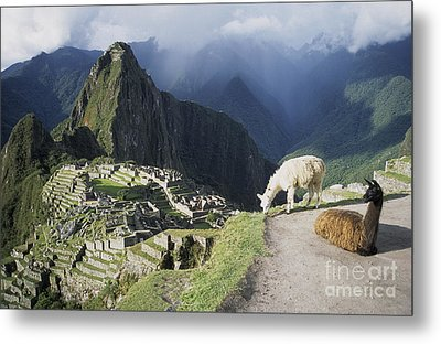 Machu Picchu And Llamas Metal Print by James Brunker