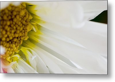 Macro Daisy Metal Print by John Holloway