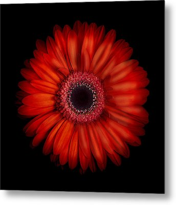 Macro Photograph Of An Red And Orange Gerbera Daisy Against A Black Background Metal Print