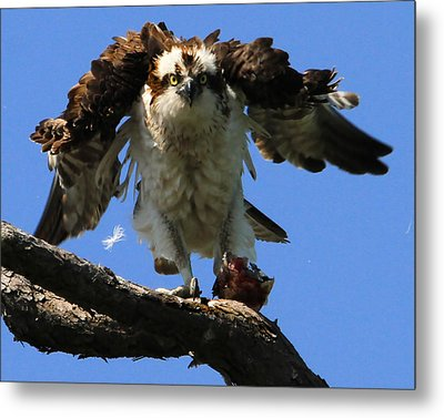 Mad Osprey Metal Print