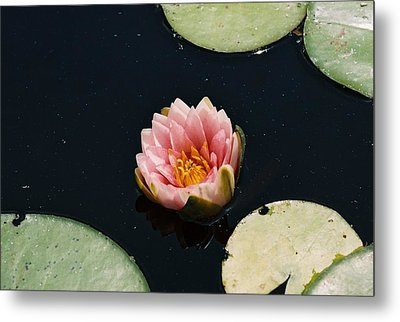 Metal Print featuring the photograph Madam Wilfron Gonnere Aka. Water Lily by Ramona Whiteaker