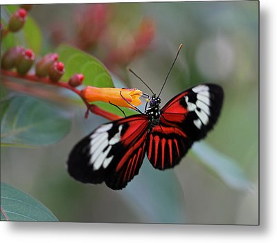 Madiera Butterfly Metal Print by Juergen Roth