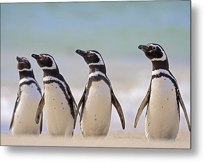 Magellanic Penguins Carcass Island Metal Print by Heike Odermatt