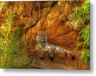 Magnificent Tiger Resting Metal Print