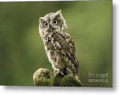 Magnifique  Eastern Screech Owl Metal Print by Inspired Nature Photography Fine Art Photography