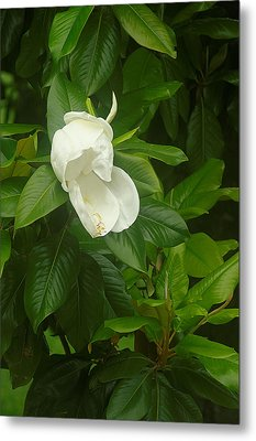 Metal Print featuring the photograph Magnolia 1 by Suzanne Powers