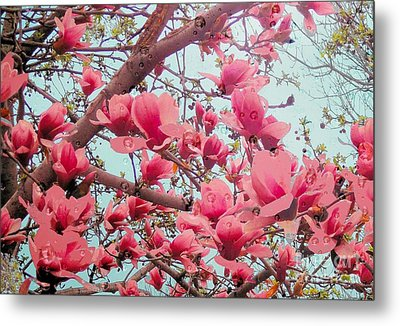 Magnolia Blossoms In Spring Metal Print