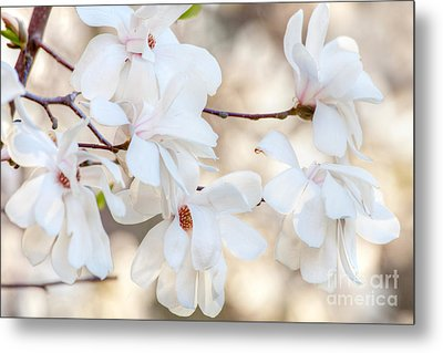 Magnolia Spring 1 Metal Print by Susan Cole Kelly Impressions