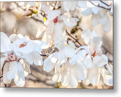 Magnolia Spring 2 Metal Print by Susan Cole Kelly Impressions