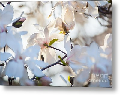Magnolia Spring 3 Metal Print by Susan Cole Kelly Impressions