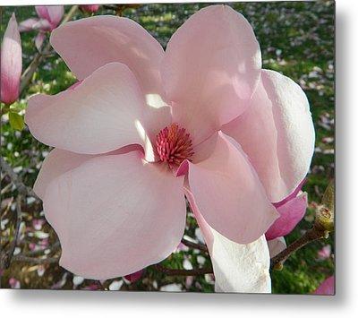 Magnolia Surprise Metal Print