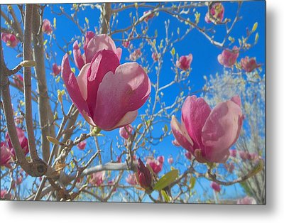 Magnolia Tree Blossoms 2 Metal Print