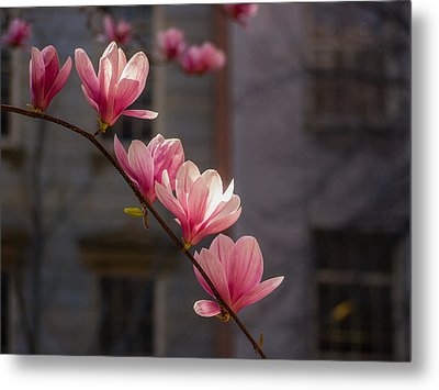 Magnolia's Descent Metal Print