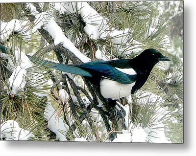 Magpie In The Snow Metal Print