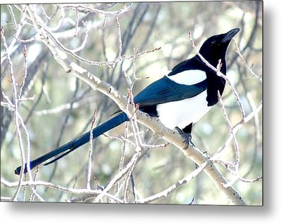 Magpie On Aspen Tree Metal Print