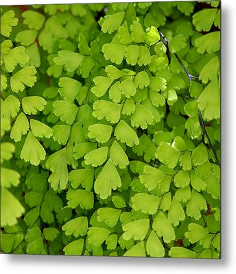 Maidenhair Fern Metal Print