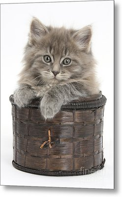 Maine Coon Kitten, Basket Metal Print by Mark Taylor