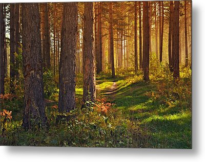 Maine Pine Forest Bathed In Light Metal Print by Movie Poster Prints