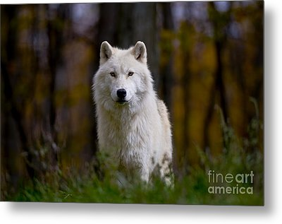 Majesty Metal Print by Wolves Only