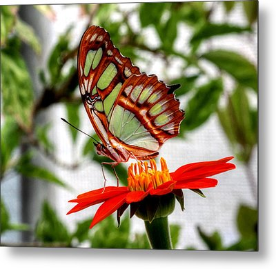 Malachite Butterfly On A Mexican Coneflower Metal Print by Larry Trupp