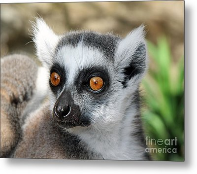 Metal Print featuring the photograph Malagasy Lemur by Sergey Lukashin
