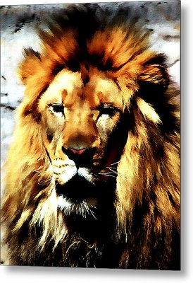 Male African Lion 2 Metal Print by Jennifer Muller