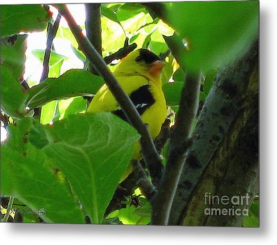 Male American Goldfinch Metal Print by J McCombie