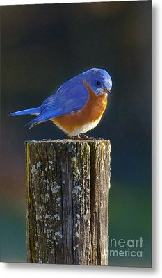 Male Bluebird Metal Print