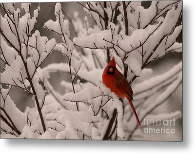 Male Cardinal Amongst Snowy Branches Metal Print by Jane Axman