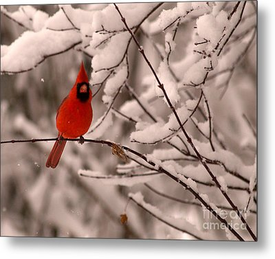 Male Cardinal In Snow Metal Print by Jane Axman