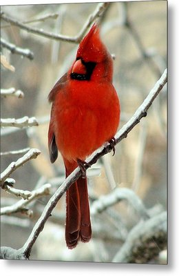Metal Print featuring the photograph Male Cardinal  by Janette Boyd