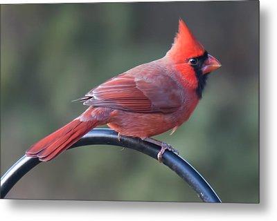 Male Cardinal Metal Print by John Kunze