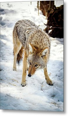 Male Coyote In Snow Metal Print by Paul Williams