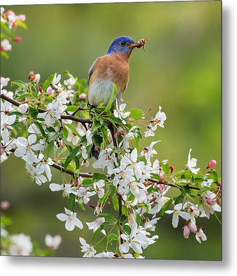 Male Eastern Bluebird Square Metal Print