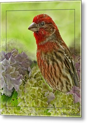Metal Print featuring the photograph Male Finch In Hydrangesa by Debbie Portwood