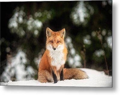 Male Fox Metal Print by Robert Clifford