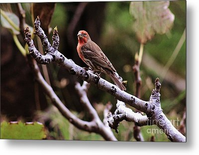 Male House Finch Metal Print by Craig Wood