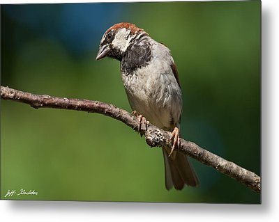Male House Sparrow Perched In A Tree Metal Print
