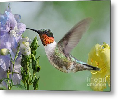 Male Hummingbird Metal Print